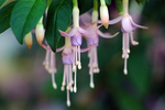 Fuchsias by Dale Jacobson